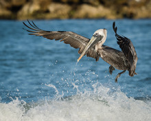 Brown Pelican Jumping The Waves At Clearwater Beach, Florida