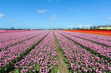 Flower Field In The Netherlands