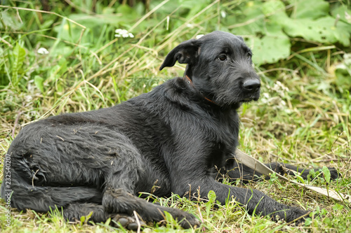 Fotografie, Obraz  unhappy sad guilty black dog
