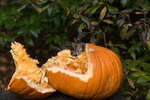 Grey Squirrel Feeding On Pumpkin Seeds
