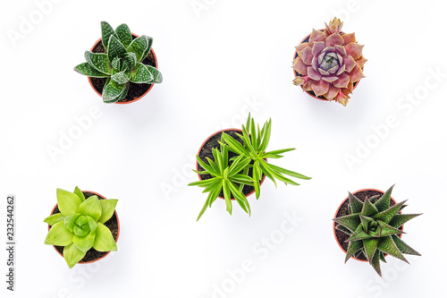 Mini succulent plants isolated on white background