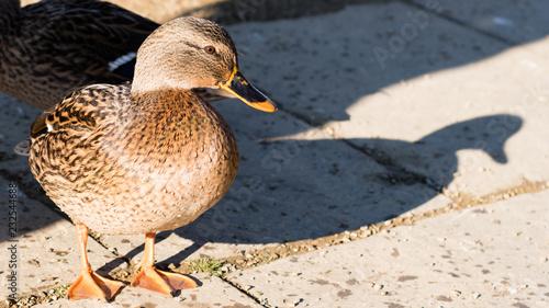 Fotografie, Obraz  Female Mallard Duck and Her Shadow