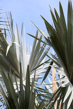Stunning Bismarck Palm Tree Fronds Against A Clear Blue Sky