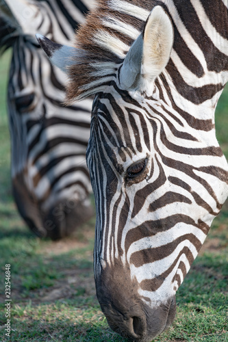 Tuinposter Zebra Beautiful close up of a zebra with a shallow depth of field
