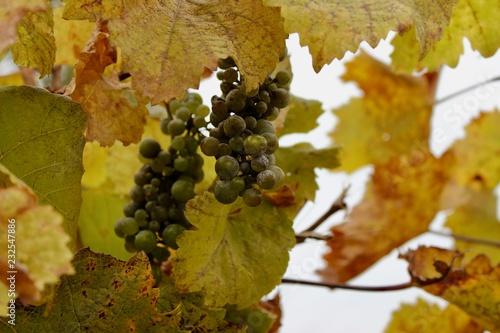 Photo sur Aluminium Vignoble vineyard, autumn leaves of vineyard on sky background