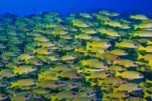 Underwater Photo Of A Yellow School Of Fish In Australia