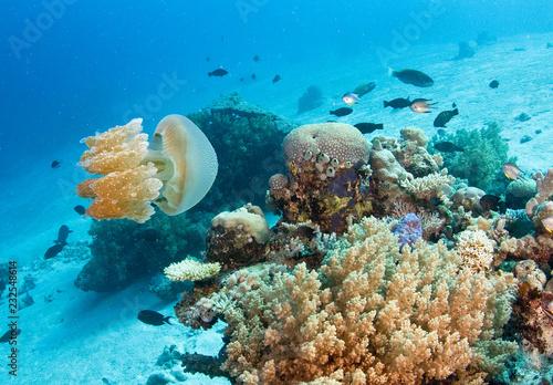 Jellyfish on reef