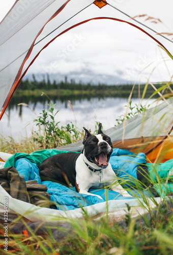 Spoed Foto op Canvas Kamperen Boston Terrier Yawning in a Tent While Camping