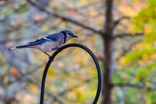 Blue Jay On A Perch