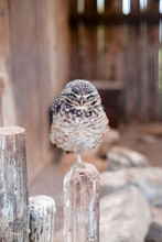 Cute Owlet Perching On A Post