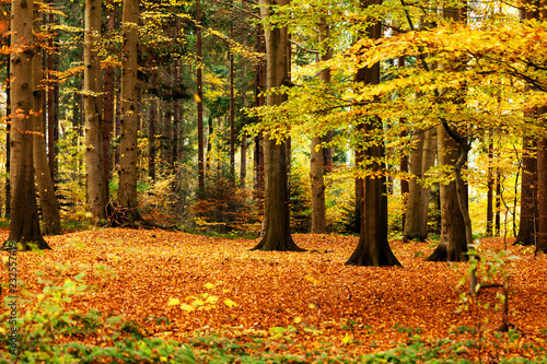goldener Herbstwald, herbstliche Lichtung im Mischwald, waldbaden als Meditation Canvas Print