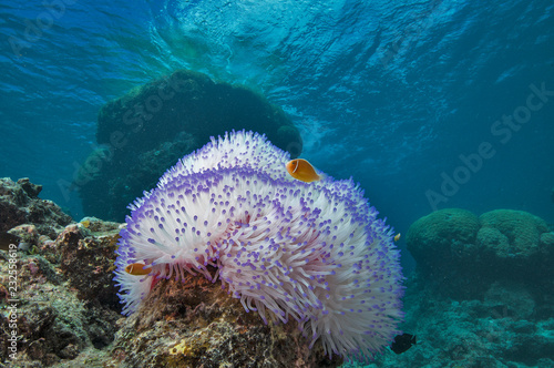 Photo Clownfish in bleached anemone