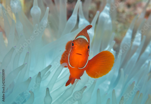Tablou Canvas Clownfish in bleached anemone