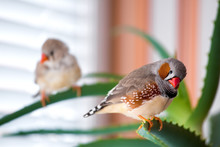 A Pair Of Zebra Finches Sits On Different Branches Of The Plant, The Male In The Foreground And The Female In The Background In The Bokeh.