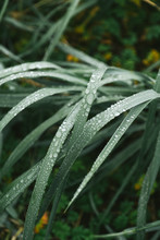 Drops Of Dew On Green Grass, Macro
