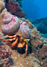 Hermit Crab On Coral