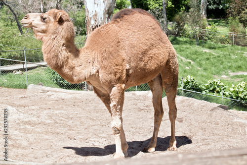 Foto op Canvas Kameel dromedary camel