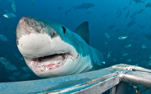 Great White Shark Near Diver Cage