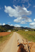 Two Oxen Pull A Cart Down A Dirt Road Through Farmland On A Sunny Day