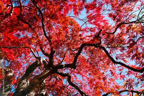 Foto auf Leinwand Violett rot Autumn season colorful of leaves in Japan