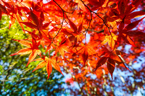 Autumn season colorful of leaves in Japan