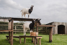 Three Goats On A Tower At The ...