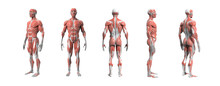 Human Anatomy Muscular System 3d Rendering With Clipping Path.