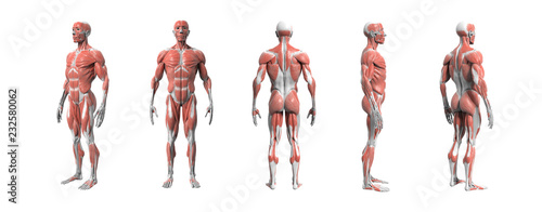 Cuadros en Lienzo Human anatomy muscular system 3d rendering with Clipping path.