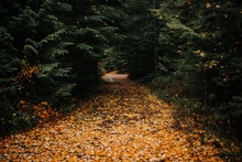 Carpet Of Yellow Leaves On A Forest Path.