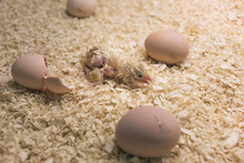 Incubator With Baby Chicks And...