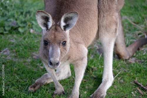 Foto op Canvas Kangoeroe Close up portrait of eastern grey kangaroo