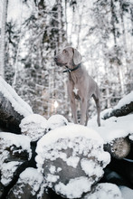 A Dog In Winter Forest