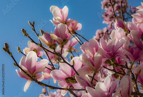 Foto op Plexiglas Magnolia Magnolien