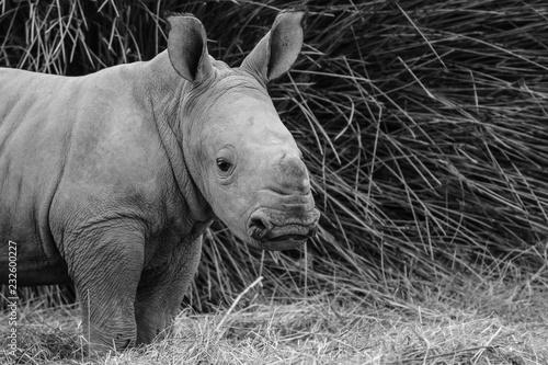 In de dag Neushoorn Rhinocéros