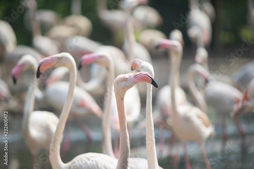 Pinked beaked white Flamingo n a zoo