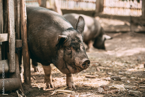 Photo Stands Ass Household A Large Black Pig Itches About Fence In Farm Yard. Pig