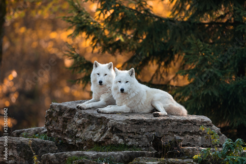 Spoed Fotobehang Wolf White wolf in the forest