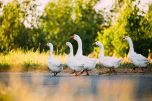 White Geese Crossing The Road ...