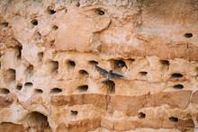 European Sand Martin Active Breeding Colony Near Burrows In Sand