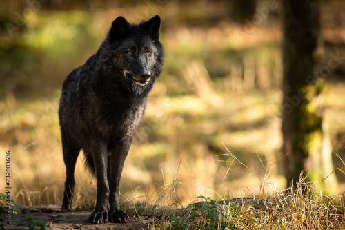 Spoed Fotobehang Wolf Black Wolf in the forest