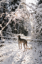 A Dog Stand In Winter Forest L...