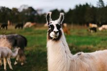 Llama Portraits