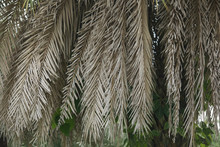 The Leaves Of Dried Palm Trees On Palm Trees.
