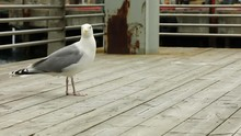 Seagull Eating Human Food Next...