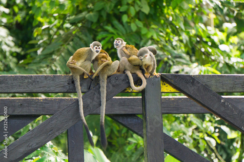 Photo  Singes Leticia jungle Amazonie Colombie