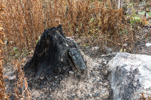 Black, Charred Stump In The Forest. Ecology And Forest Conservation Concept