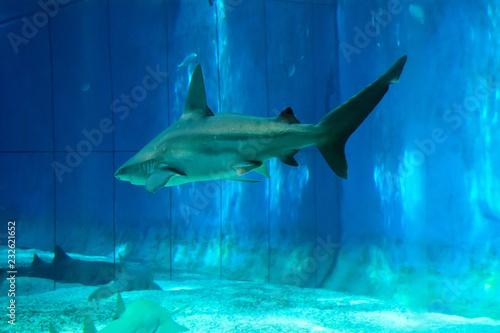 Fotografija  Squalo che nuota nella vasca dell'acquario di Genova