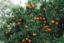 Close-up Of Fruits Growing On ...