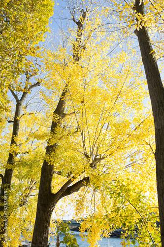 Spoed Foto op Canvas Bomen Yellow tree, autumn