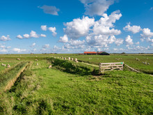 Polder Landscape With Grazing Sheep, Dike, Grassland And Farmhouse On Frisian Island Texel, Noord-Holland, Netherlands